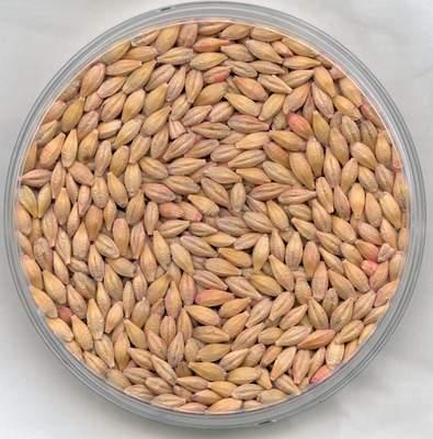 EZ premium Barley