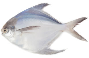 White Pamphlet Pomfret Fish big