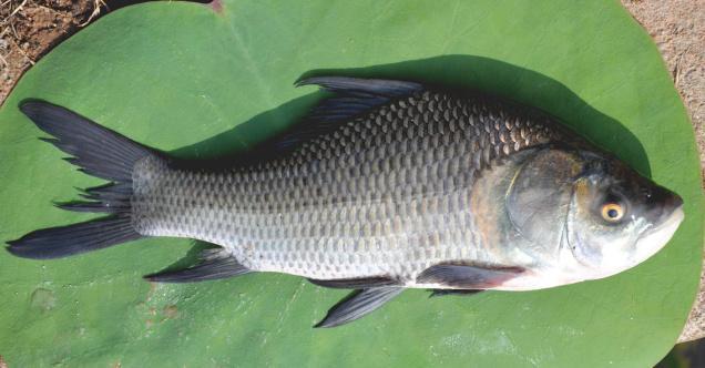 Buy catla fish sliced 1kg Online Shopping Bangalore Store