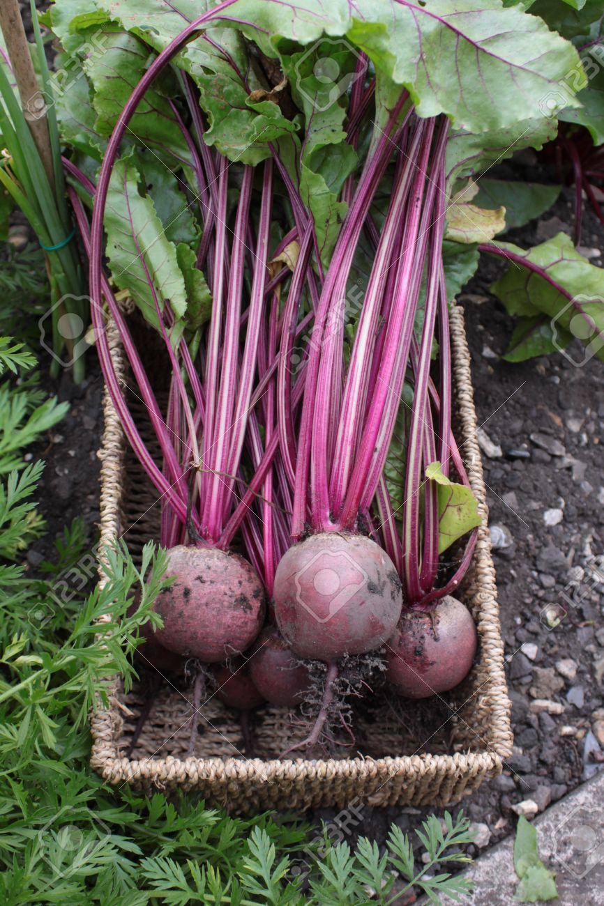 Beetroot Organically Grown