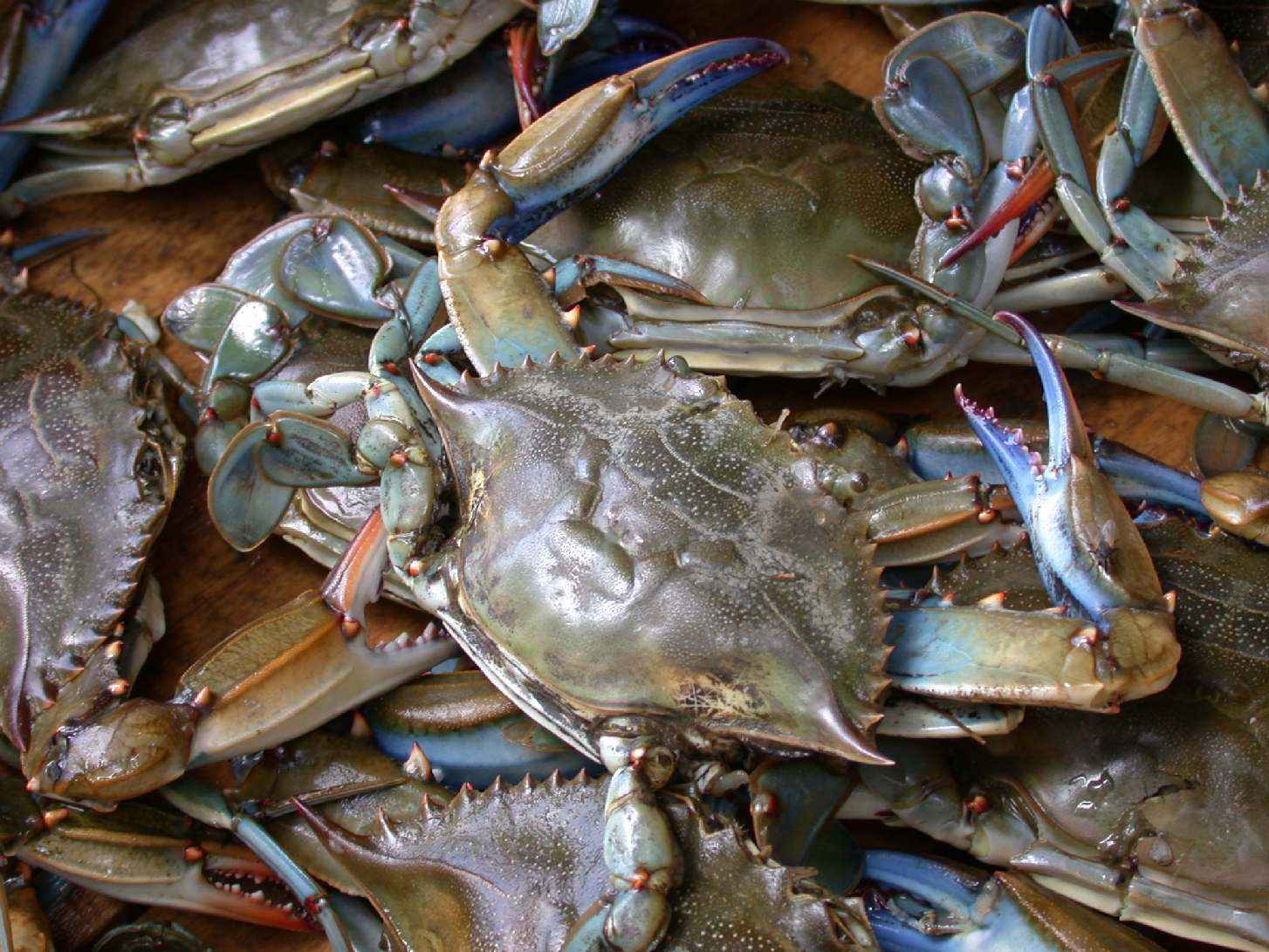 blue crab big